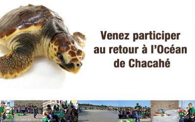 illustration de Retour à l'océan d'une tortue marine : RV sur l'île de Ré, mardi 5 juillet 2011à 9h30 !