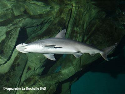 illustration de Trois petits requins marteaux ont rejoint l'Aquarium de La Rochelle !