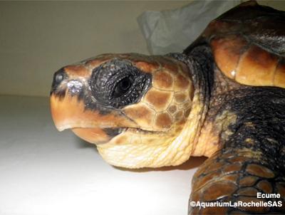 illustration de La Rochelle : l'Aquarium relâche une tortue marine sur une plage de l'île de Ré, mardi 24 septembre 2013 à 10h30