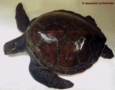illustration de Une tortue Kemp en observation à l'Aquarium de La Rochelle