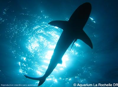 illustration de Conférence à l'Aquarium de La Rochelle : requins, entre mythe et réalité, mercredi 12 mars 2014