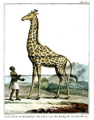 Photo : La Rochelle : Zarafa, un tour de ville autour de la girafe, jeudi 19 janvier 2012